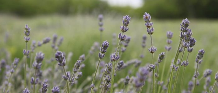 The 15 Best Lavender Essential Oils
